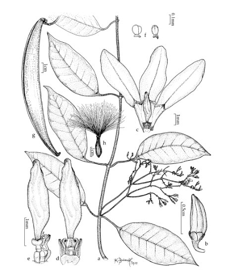 "En oleanderväxt av arten Secamone kunstleri, illustrerad av Elizabeth Binkiewicz. Bilden publicerades i artikeln ""New species and combinations of Secamone (Apocynaceae, Secamonoideae) from South East Asia"" av Jens Klackenberg, i tidningen Blumea nr 55 (2010)."